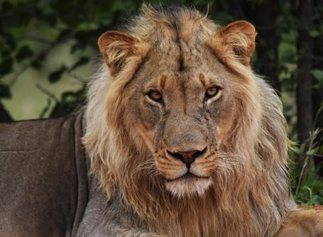 Lew występujący w rezerwacie w Botswanie.