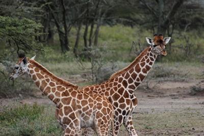 Giraffes grazing in a field in Kenya