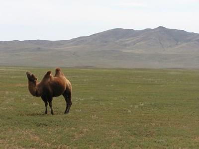 Camel in nature in the field of the volunteer placement in Mongolia