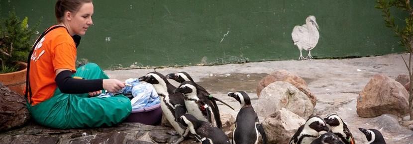 Wolontariuszka na wolontariacie zagranicznym ze zwierzętami w trakcie pracy z pingwinami