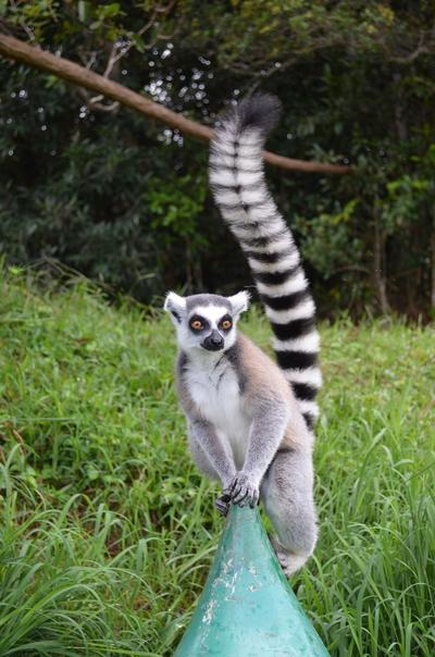 Lemur wśród drzew